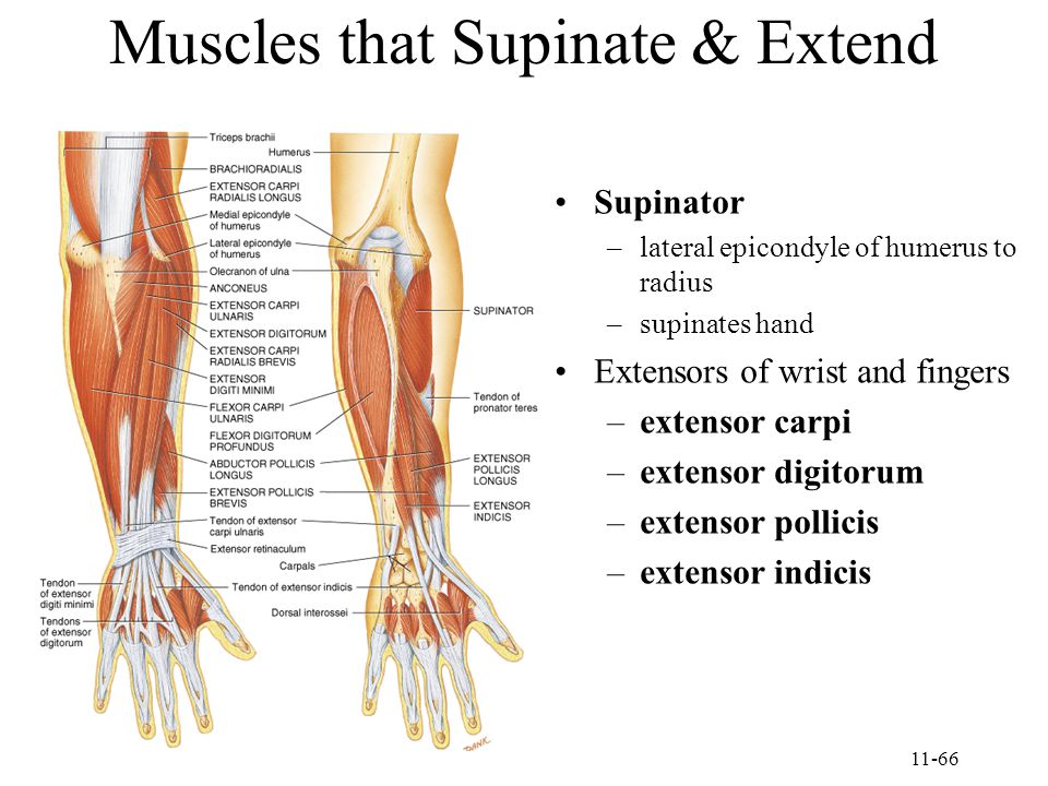 11-66 Muscles that Supinate & Extend Supinator –lateral epicondyle of humerus to radius –supinates hand Extensors of wrist and fingers –extensor carpi