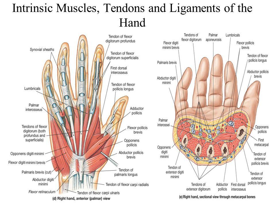 Tolle Wrist Anatomy Tendons Fotos - Menschliche Anatomie Bilder ...