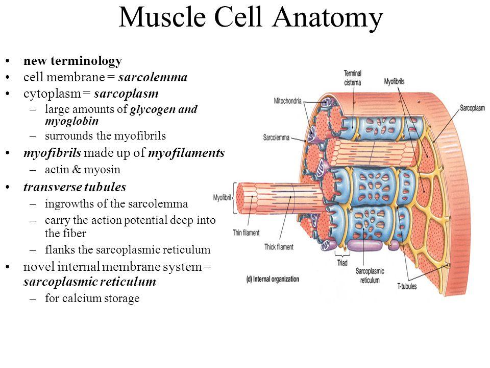 Muscle Cell Anatomy new terminology cell membrane = sarcolemma cytoplasm = sarcoplasm –large amounts of glycogen and myoglobin –surrounds the myofibri