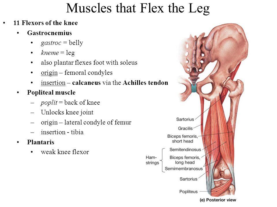 Muscles that Flex the Leg 11 Flexors of the knee Gastrocnemius gastroc = belly kneme = leg also plantar flexes foot with soleus origin – femoral condy