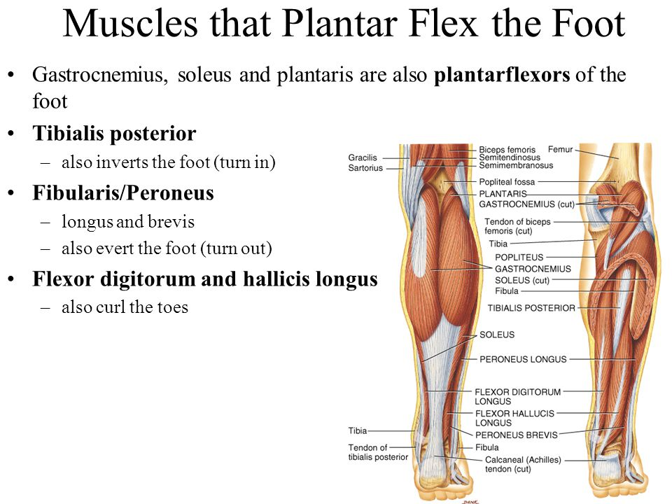 Muscles that Plantar Flex the Foot Gastrocnemius, soleus and plantaris are also plantarflexors of the foot Tibialis posterior –also inverts the foot (