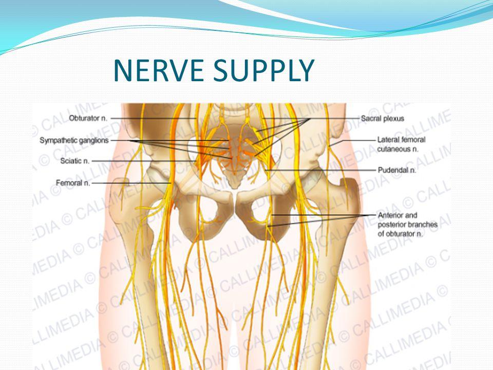 hip flexors nerve supply – shawn karam, Muscles