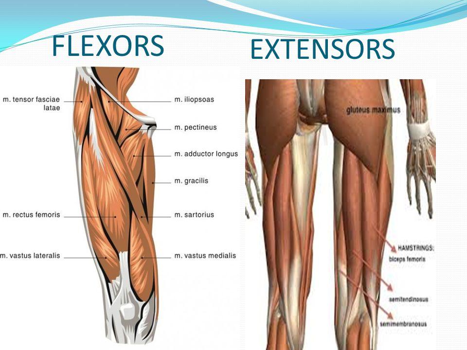 FLEXORS EXTENSORS