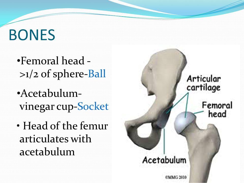 BONES Femoral head - >1/2 of sphere-Ball Acetabulum- vinegar cup-Socket Head of the femur articulates with acetabulum