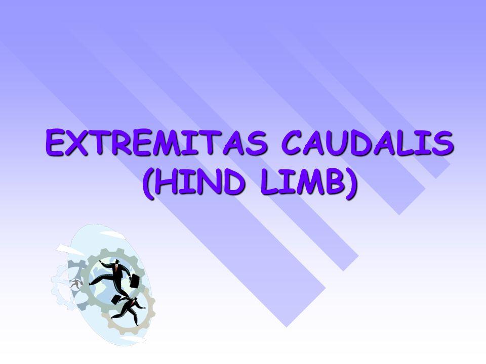 THE HIND LIMB HAVE FOUR SEGMENTS : CINGULUM MEMBRI PELVINACINGULUM MEMBRI PELVINA (PELVIC GIRDLE) FEMURALISFEMURALIS (THIGH) CRURISCRURIS (LEG) PEDISPEDIS (PES)