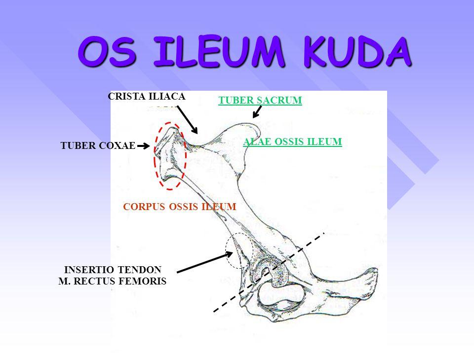 EXTREMITAS PROXIMAL OSSIS FEMUR CORPUS OSSIS FEMUR EXTREMITAS DISTAL OSSIS FEMUR