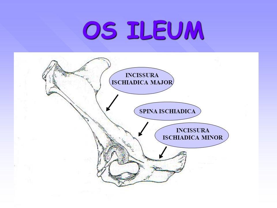 OS ISCHIUM SAPI (lateral view) CORPUS TABULA INC. ISC. MINOR TUBER ISCHIADICUM SYMPHISIS PELVIS