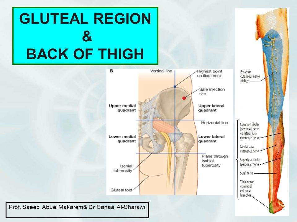GLUTEAL REGION & BACK OF THIGH 1 Prof. Saeed Abuel Makarem& Dr. Sanaa Al-Sharawi