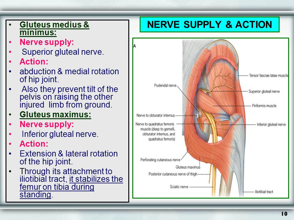 NERVE SUPPLY & ACTION Gluteus medius & minimus: Nerve supply: Superior gluteal nerve. Action: abduction & medial rotation of hip joint. Also they prev