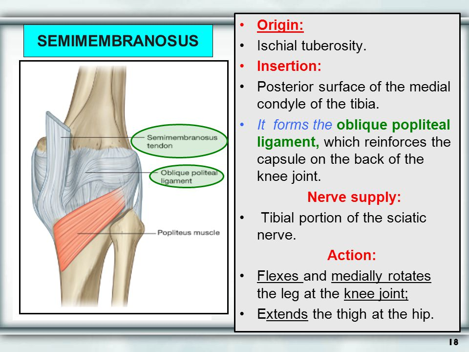 18 SEMIMEMBRANOSUS Origin: Ischial tuberosity. Insertion: Posterior surface of the medial condyle of the tibia. It forms the oblique popliteal ligamen