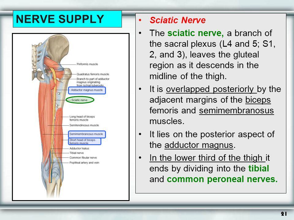 21 NERVE SUPPLY Sciatic Nerve The sciatic nerve, a branch of the sacral plexus (L4 and 5; S1, 2, and 3), leaves the gluteal region as it descends in t