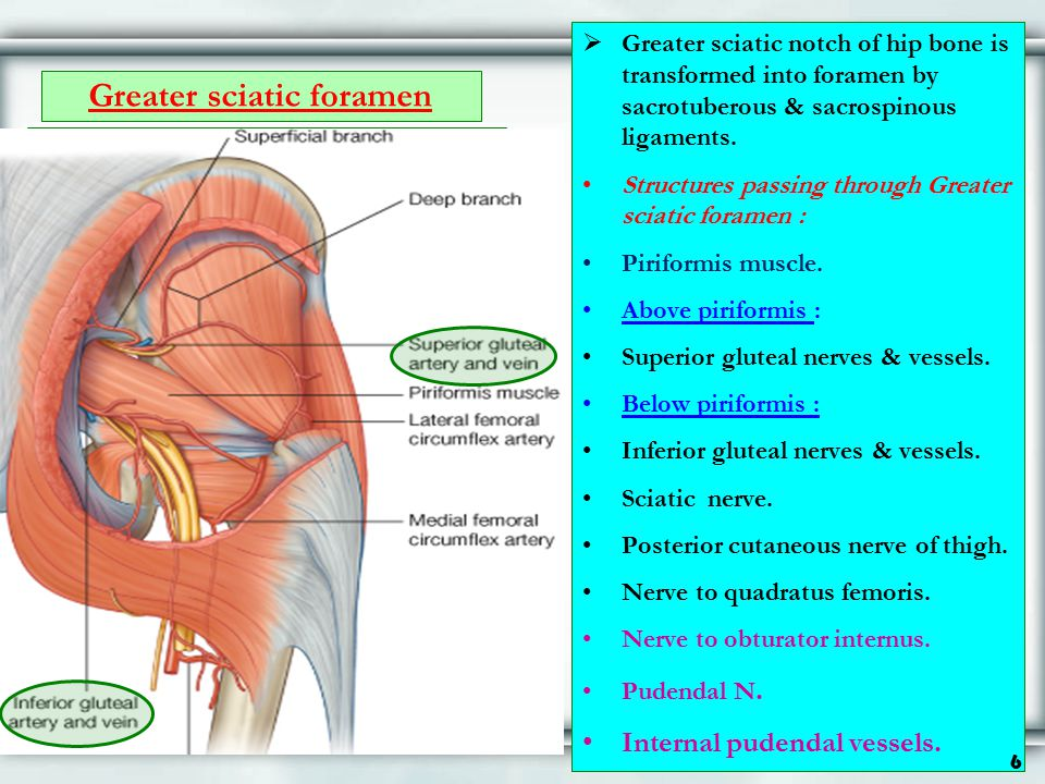 Greater sciatic foramen  Greater sciatic notch of hip bone is transformed into foramen by sacrotuberous & sacrospinous ligaments. Structures passing