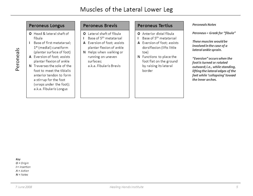 Muscles of the Lateral Lower Leg 7 June 20085Healing Hands Institute OHead & lateral shaft of fibula IBase of first metatarsal; 1 st (medial) cuneiform (plantar surface of foot) AEversion of foot; assists plantar flexion of ankle NTraverses the sole of the foot to meet the tibialis anterior tendon to form a stirrup for the foot (wraps under the foot); a.k.a.