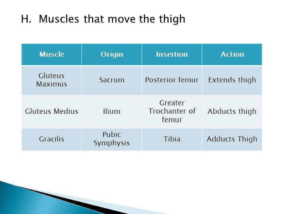 H. Muscles that move the thigh MuscleOriginInsertionAction Gluteus Maximus SacrumPosterior femurExtends thigh Gluteus MediusIlium Greater Trochanter o