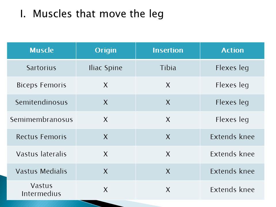 I. Muscles that move the leg MuscleOriginInsertionAction SartoriusIliac SpineTibiaFlexes leg Biceps FemorisXXFlexes leg SemitendinosusXXFlexes leg Sem