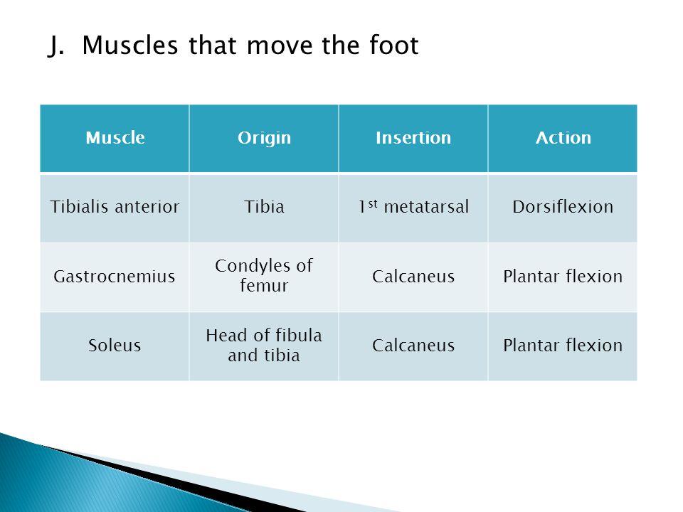J. Muscles that move the foot MuscleOriginInsertionAction Tibialis anteriorTibia1 st metatarsalDorsiflexion Gastrocnemius Condyles of femur CalcaneusP