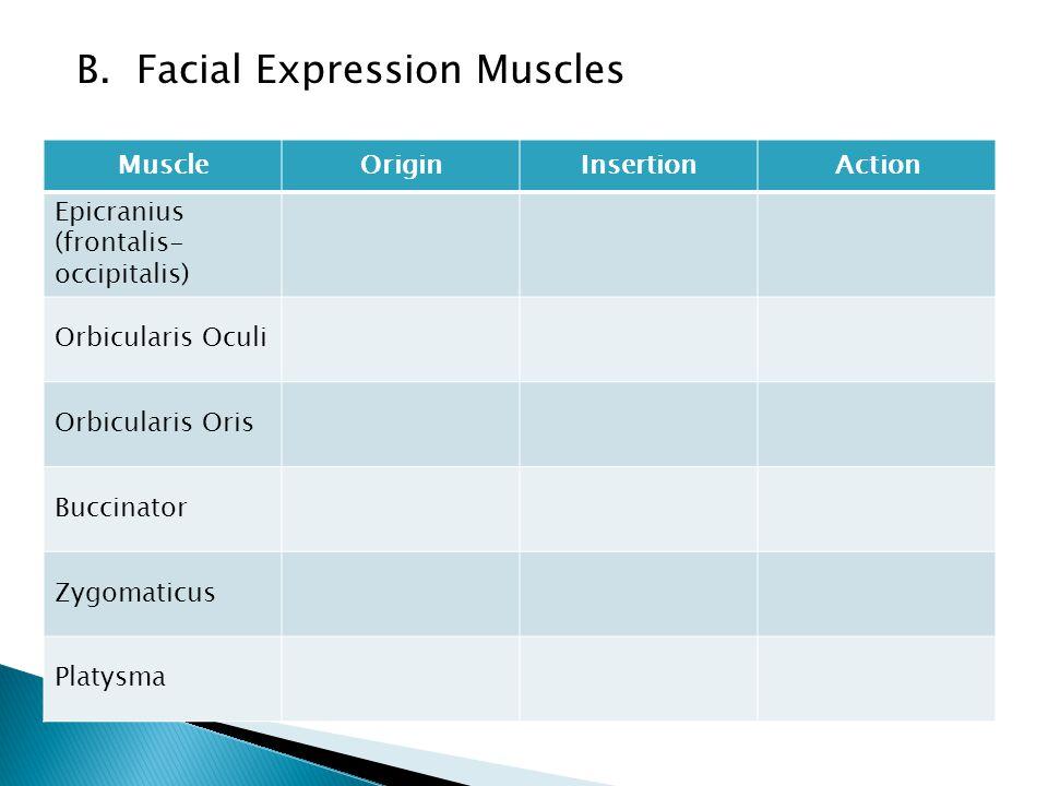 B. Facial Expression Muscles MuscleOriginInsertionAction Epicranius (frontalis- occipitalis) Orbicularis Oculi Orbicularis Oris Buccinator Zygomaticus