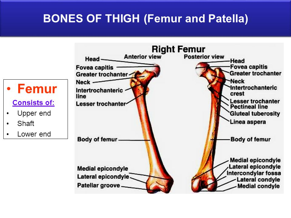 BONES OF THIGH (Femur and Patella) Femur Consists of: Upper end Shaft Lower end