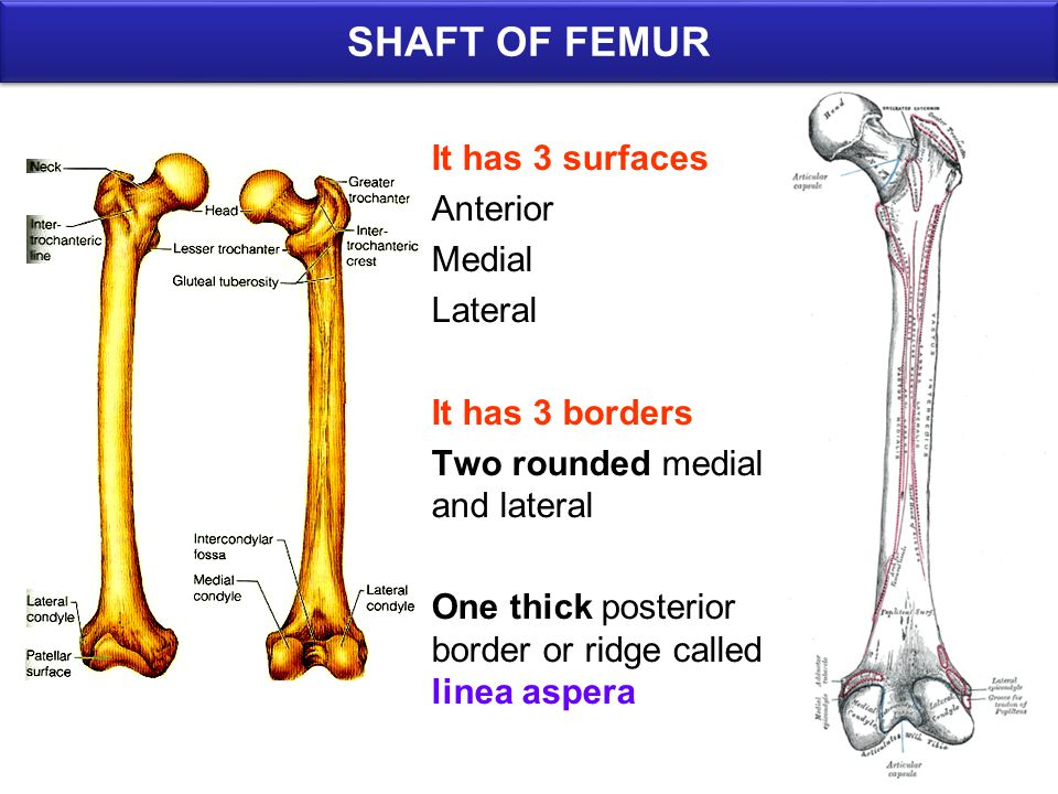 SHAFT OF FEMUR It has 3 surfaces Anterior Medial Lateral It has 3 borders Two rounded medial and lateral One thick posterior border or ridge called linea aspera