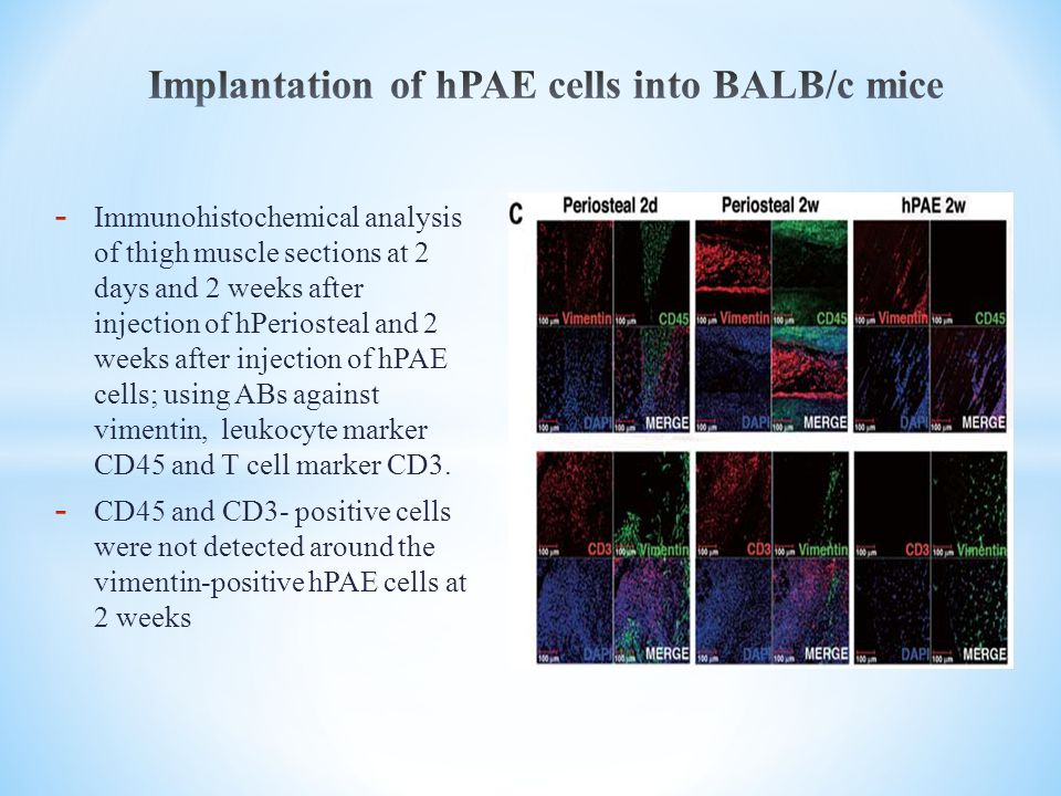 - Immunohistochemical analysis of thigh muscle sections at 2 days and 2 weeks after injection of hPeriosteal and 2 weeks after injection of hPAE cells; using ABs against vimentin, leukocyte marker CD45 and T cell marker CD3.