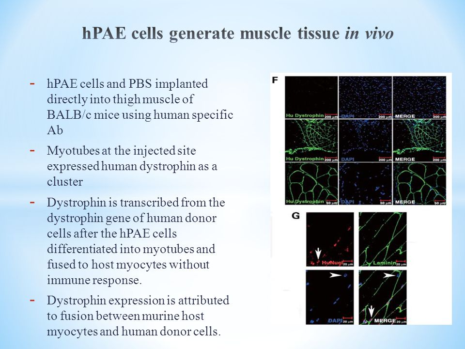 - hPAE cells and PBS implanted directly into thigh muscle of BALB/c mice using human specific Ab - Myotubes at the injected site expressed human dystrophin as a cluster - Dystrophin is transcribed from the dystrophin gene of human donor cells after the hPAE cells differentiated into myotubes and fused to host myocytes without immune response.