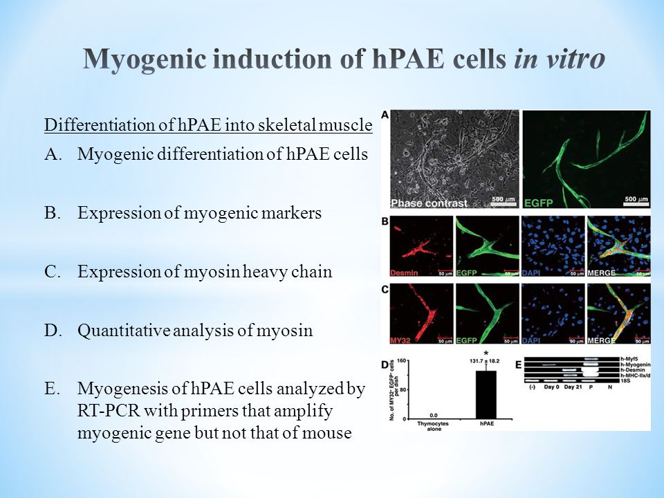 Differentiation of hPAE into skeletal muscle A.Myogenic differentiation of hPAE cells B.Expression of myogenic markers C.Expression of myosin heavy chain D.Quantitative analysis of myosin E.Myogenesis of hPAE cells analyzed by RT-PCR with primers that amplify myogenic gene but not that of mouse