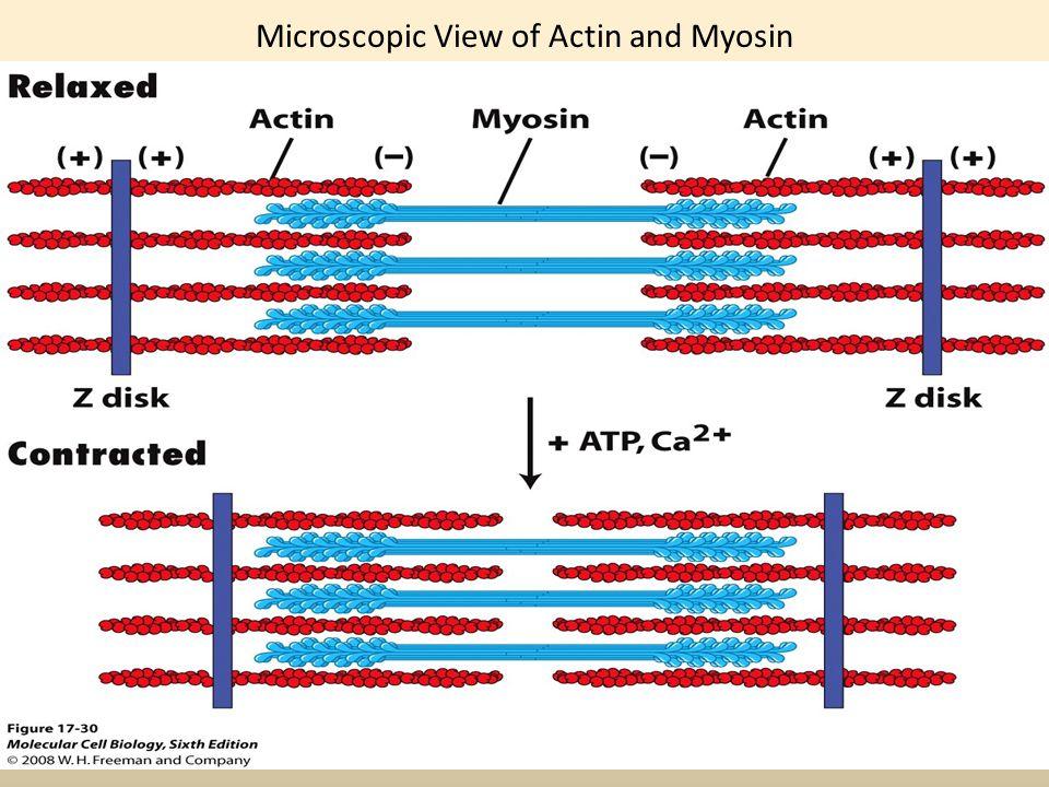 Microscopic View of Actin and Myosin