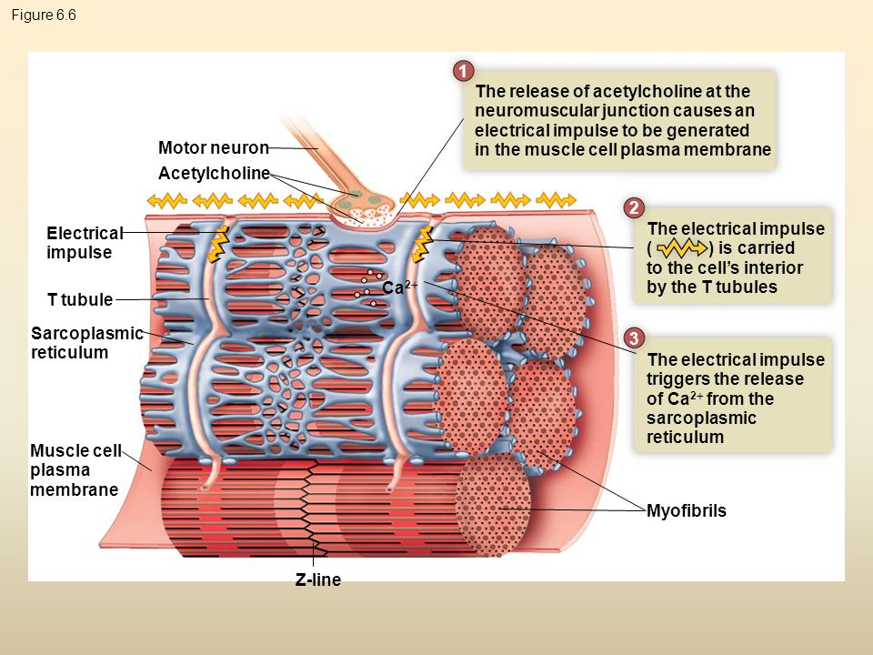 Figure 6.6 Motor neuron Electrical impulse T tubule Sarcoplasmic reticulum Muscle cell plasma membrane Z-line Myofibrils Ca 2  Acetylcholine The rele