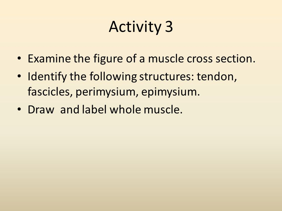Activity 3 Examine the figure of a muscle cross section. Identify the following structures: tendon, fascicles, perimysium, epimysium. Draw and label w