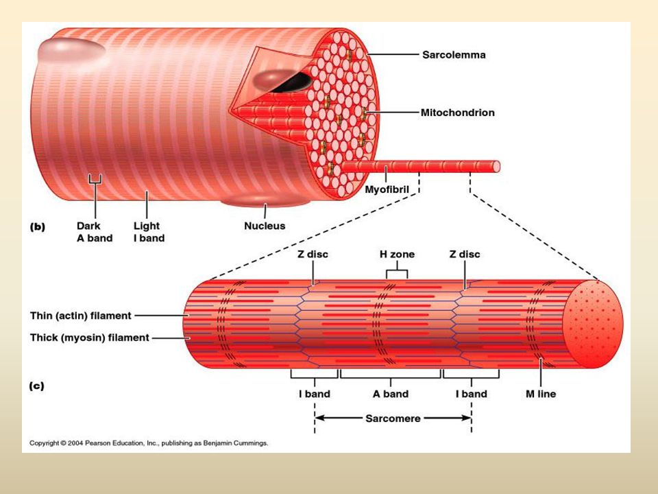 Questions How do a motor neuron and a skeletal muscle fiber join at a neuromuscular junction.
