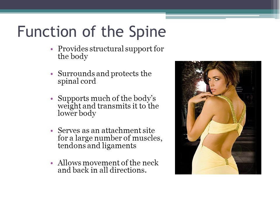 Function of the Spine Provides structural support for the body Surrounds and protects the spinal cord Supports much of the body's weight and transmits