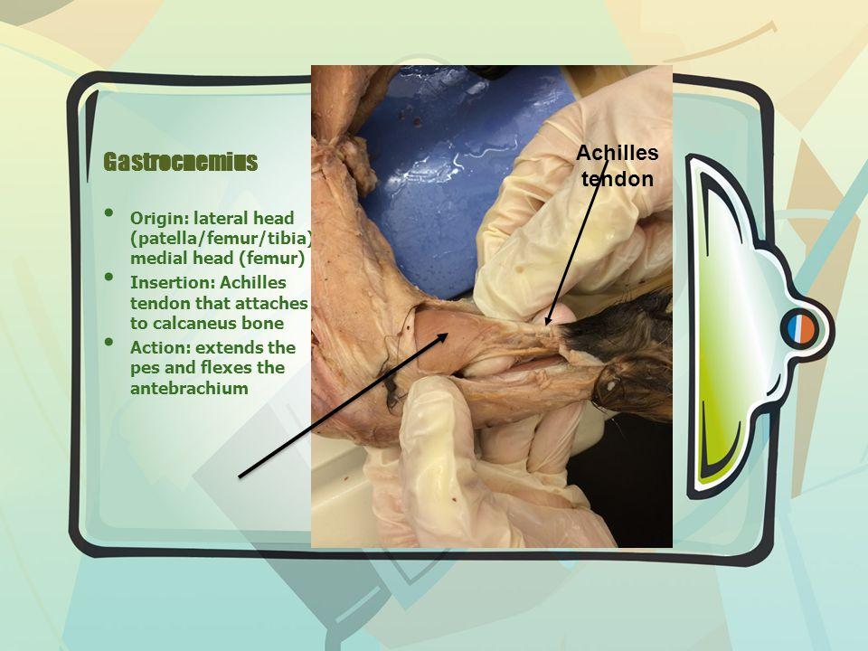 Gastrocnemius Origin: lateral head (patella/femur/tibia) medial head (femur) Insertion: Achilles tendon that attaches to calcaneus bone Action: extends the pes and flexes the antebrachium Achilles tendon