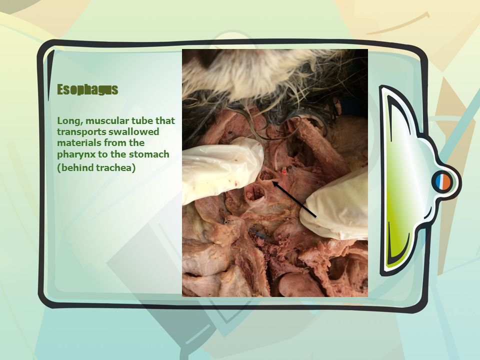 Esophagus Long, muscular tube that transports swallowed materials from the pharynx to the stomach (behind trachea)