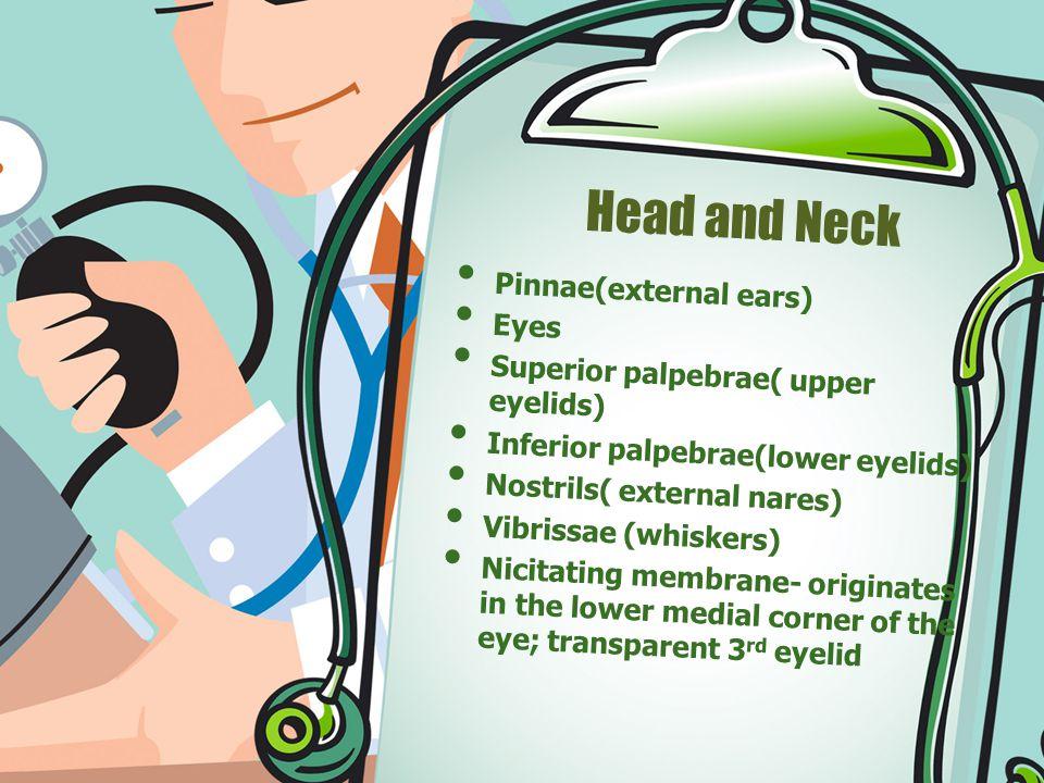 Head and Neck Pinnae(external ears) Eyes Superior palpebrae( upper eyelids) Inferior palpebrae(lower eyelids) Nostrils( external nares) Vibrissae (whiskers) Nicitating membrane- originates in the lower medial corner of the eye; transparent 3 rd eyelid