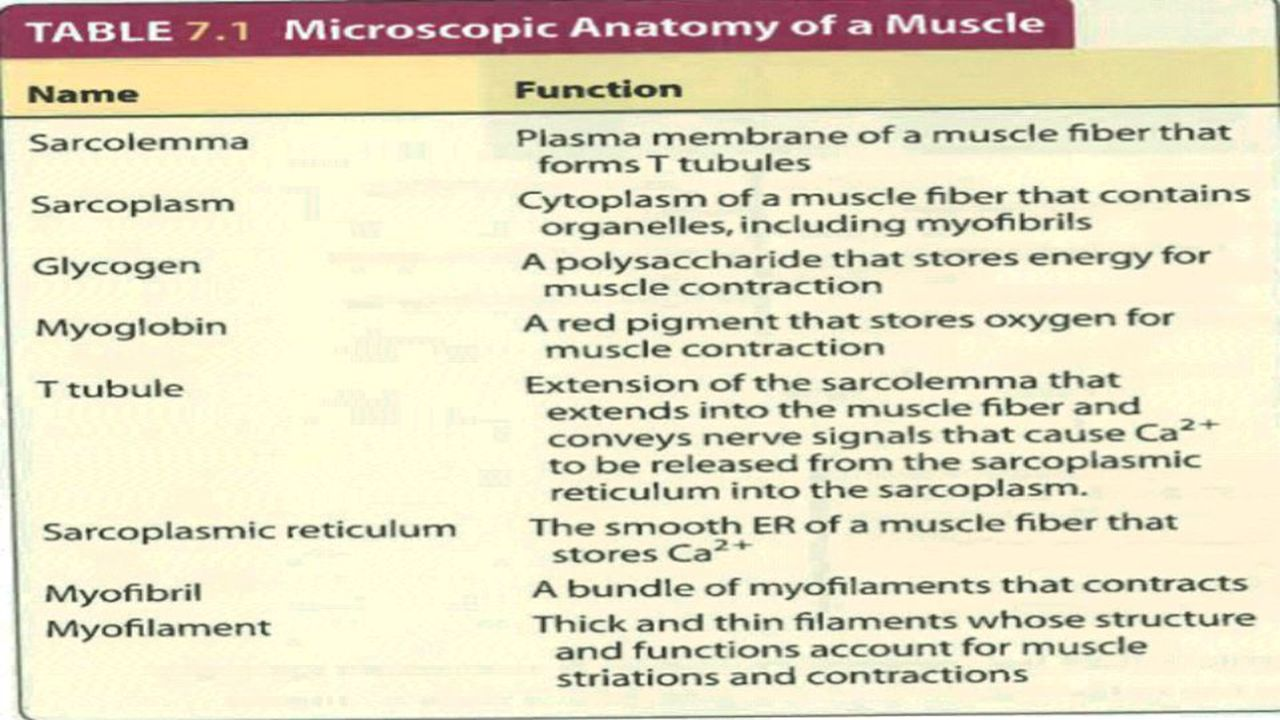 SLOW-TWITCH MUSCLE FIBERS Muscle fibers metabolize both aerobically and anaerobically but some muscle fiber utilizes one method more than the other to provide myofibrils with ATP Slow-twitch fibers tend to be aerobic and is referred as Type I fibers Steadier tug and more endurance despite having motor units with a smaller number of fibers Helpful in sports such as running, biking, jogging Tire when fuel supply is gone Have many mitochondria and are dark in color because they contain myoglobin, respiratory pigment found in muscles Resistant to fatigue because they have a substantial reserve of glycogen and fat