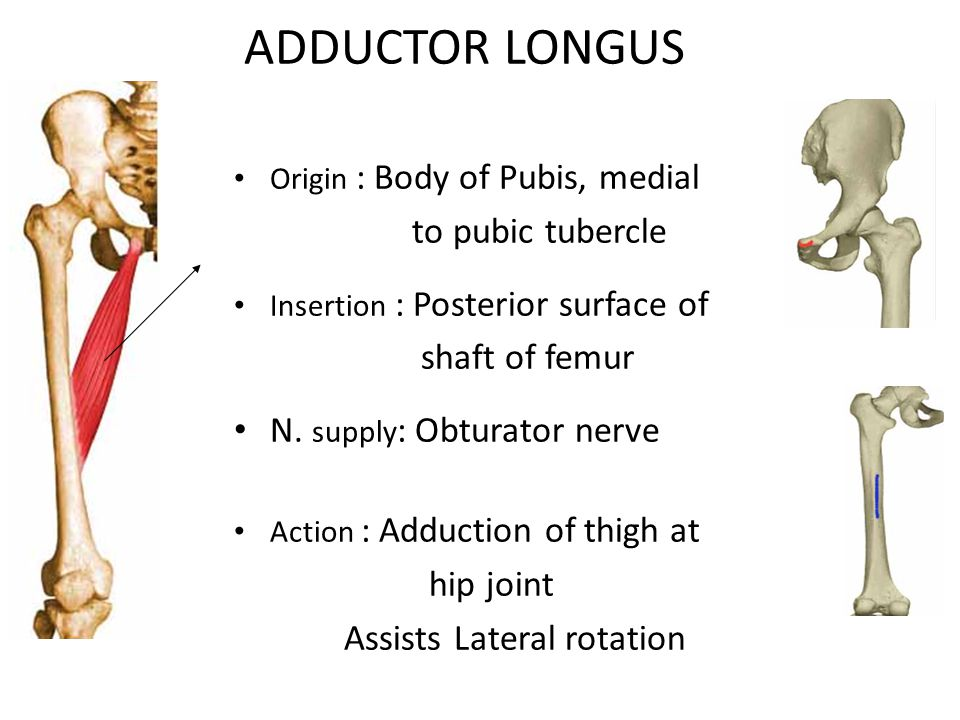 ADDUCTOR LONGUS Origin : Body of Pubis, medial to pubic tubercle Insertion : Posterior surface of shaft of femur N.