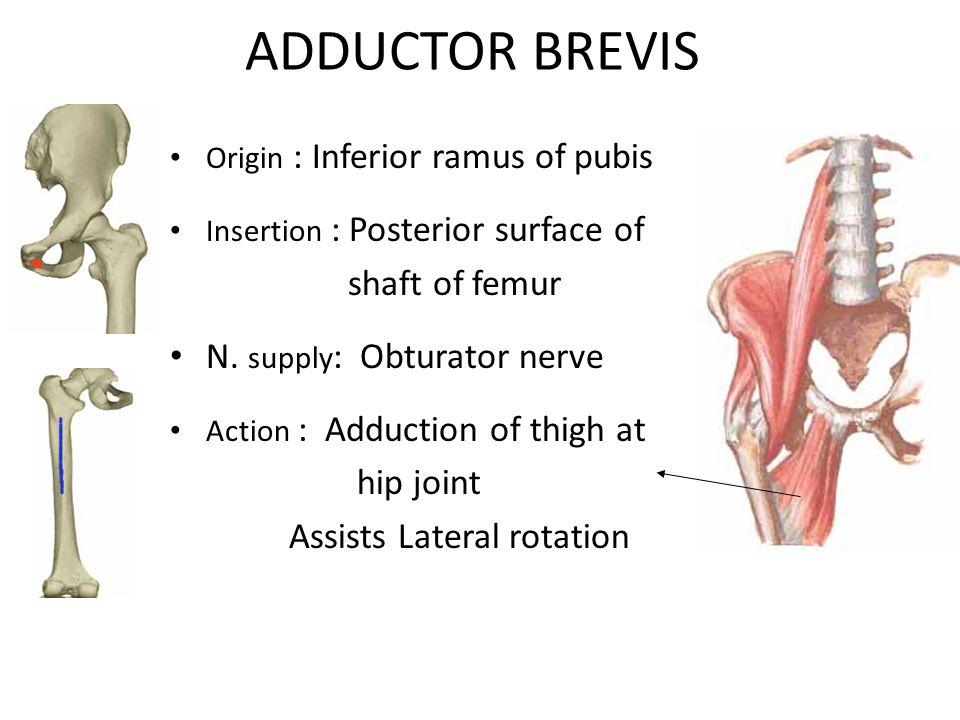 ADDUCTOR BREVIS Origin : Inferior ramus of pubis Insertion : Posterior surface of shaft of femur N.