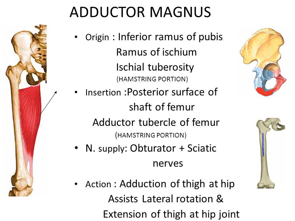 ADDUCTOR MAGNUS Origin : Inferior ramus of pubis Ramus of ischium Ischial tuberosity (HAMSTRING PORTION) Insertion :Posterior surface of shaft of femur Adductor tubercle of femur ( HAMSTRING PORTION) N.