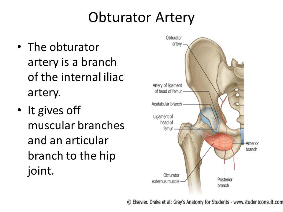 Obturator Artery The obturator artery is a branch of the internal iliac artery.