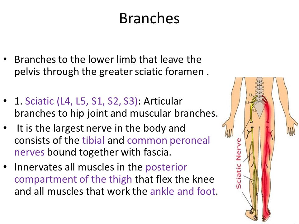 Branches Branches to the lower limb that leave the pelvis through the greater sciatic foramen.