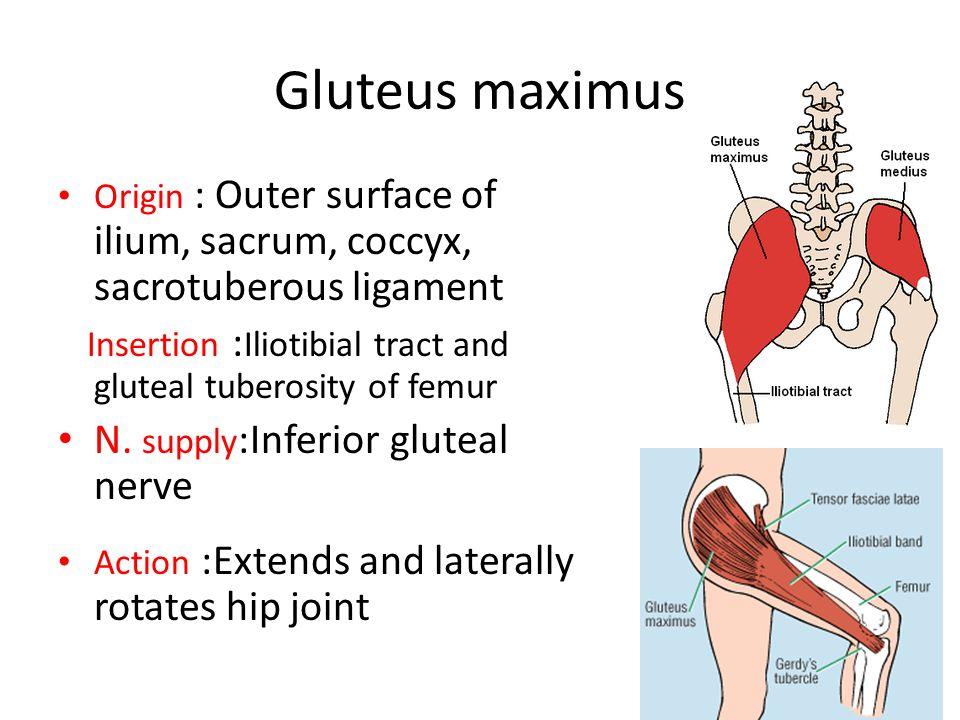 Gluteus maximus Origin : Outer surface of ilium, sacrum, coccyx, sacrotuberous ligament Insertion : Iliotibial tract and gluteal tuberosity of femur N.