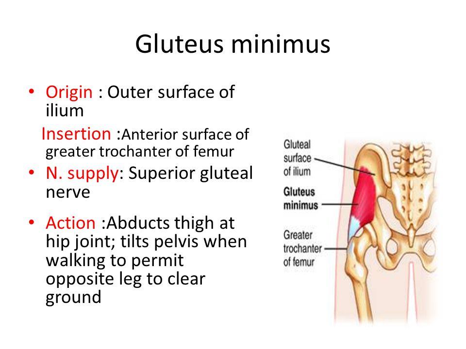 Gluteus minimus Origin : Outer surface of ilium Insertion : Anterior surface of greater trochanter of femur N.