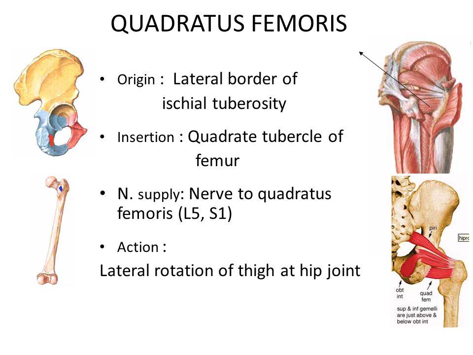 QUADRATUS FEMORIS Origin : Lateral border of ischial tuberosity Insertion : Quadrate tubercle of femur N.