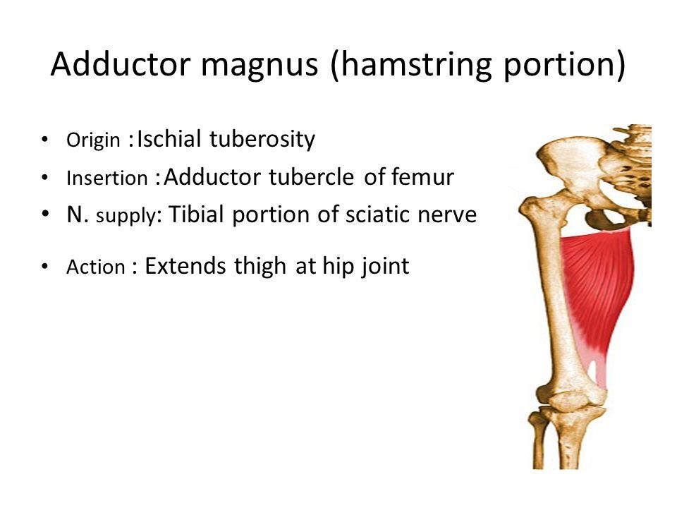 Adductor magnus (hamstring portion) Origin : Ischial tuberosity Insertion : Adductor tubercle of femur N.