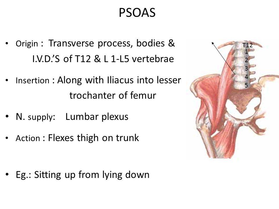 PSOAS Origin : Transverse process, bodies & I.V.D.'S of T12 & L 1-L5 vertebrae Insertion : Along with Iliacus into lesser trochanter of femur N.