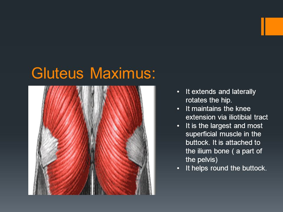 Gluteus Maximus: It extends and laterally rotates the hip.