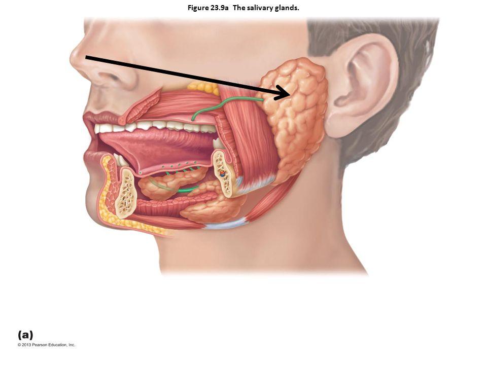 Figure 23.9a The salivary glands.