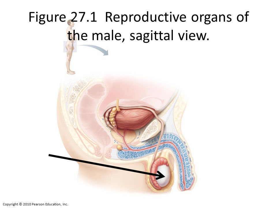 Copyright © 2010 Pearson Education, Inc. Figure 27.1 Reproductive organs of the male, sagittal view.