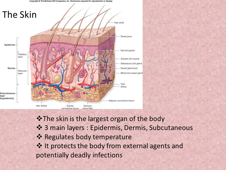 skin grafting by: megan french. the skin  the skin is the, Human body