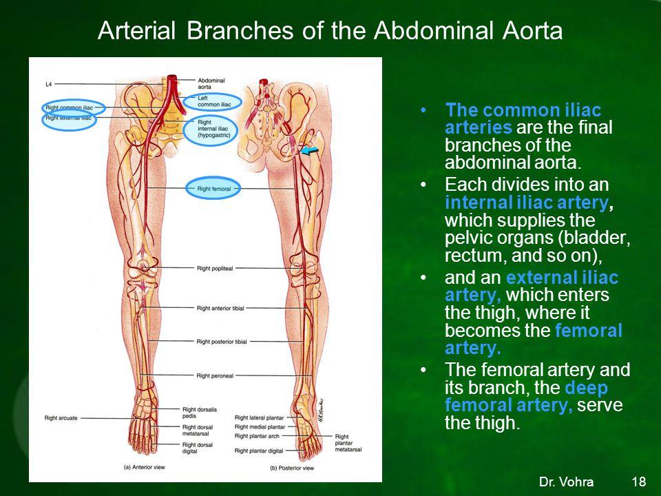 Dr. Vohra Arterial Branches of the Abdominal Aorta The common iliac arteries are the final branches of the abdominal aorta. Each divides into an inter